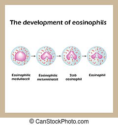 The development of eosinophils. Infographics. Vector...