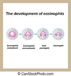 The development of eosinophils. Infographics. Vector...