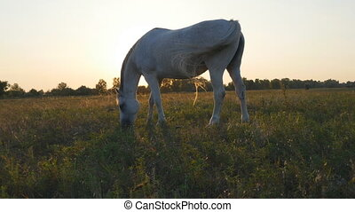 Horse grazing on the meadow at sunrise. Horse is eating...