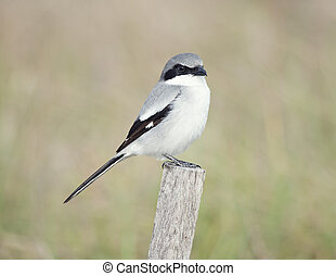 Loggerhead Shrike perching in Florida wetlands