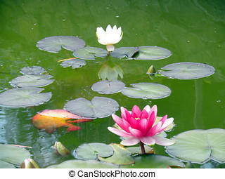 Water-lily in pond - Russia, Moscow City park `Sokolniki`...