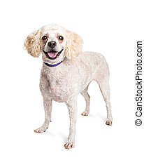 Happy Poodle Dog Standing on White