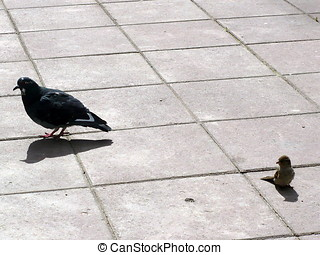 Rock Pigeon and sparrow (Spatzie) - Russia, Moscow. Animals...