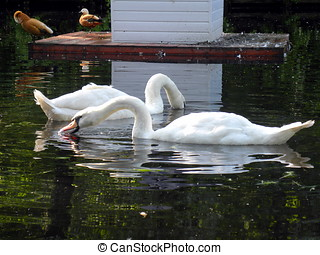 Two mute swans - Russia, Moscow. Animals in Big city. City...
