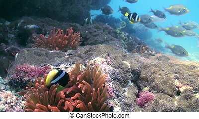 Red anemones and clown fish on the sea floor - Red anemones...