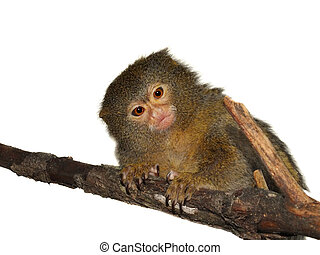 The pygmy marmoset isolated on white - The pygmy marmoset,...