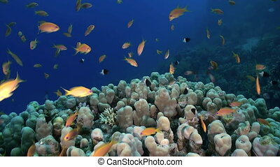 Staghorn coral with Damselfishes and Anthias. Close up....