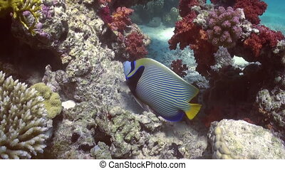 Butterfly fish on coral reef in search of food. - Butterfly...