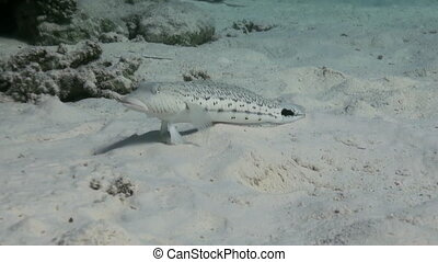 Goby Fish on reef on sandy bottom search of food - Goby Fish...