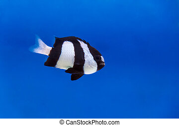 One black and white dascyllus trimaculatus fish in aquarium...