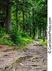narrow path in a coniferous forest with tree roots sprouted...