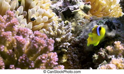 Anemones and clown fish on sea floor on coral reef in lagoon...