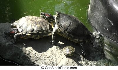 Freshwater tortoise (LAT. Trachemys scripta) on a summer day