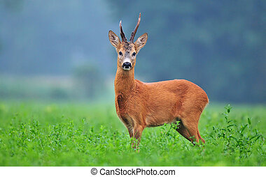Wild roe deer standing in a field and looking at the camera