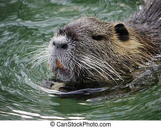castor,  ake, natación