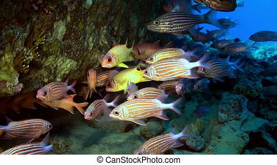 School of tropical fish on reef in search of food - A flock...
