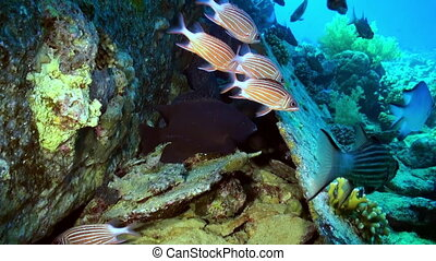 School of red striped fish on reef search of food. - A flock...