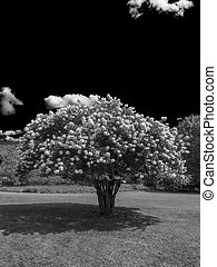 Blooming tree B and W - Blooming Pee Gee hydrangea Hydrangea...