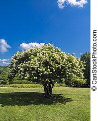 Blooming tree - Blooming Pee Gee hydrangea (Hydrangea...
