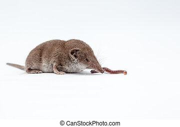 shrew with earthworm