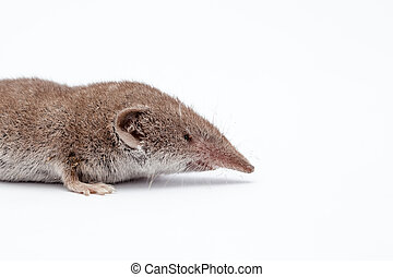 an small shrew