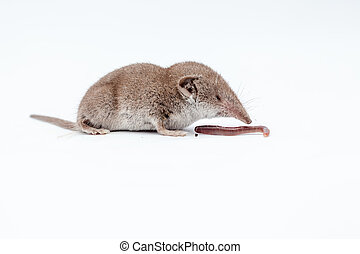 shrew with earthworm - on a white background, there is a...
