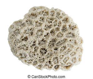 isolated stony coral