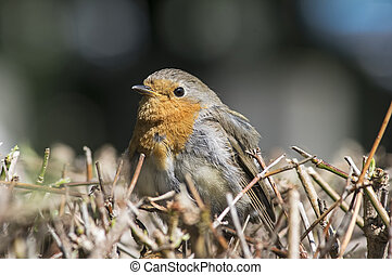 Portrait of a robin - Robin redbreast on a hedge