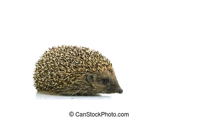 HD - Hedgehog looking into camera