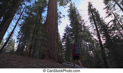 Hiker hugging Giant Sequoia tree - Sequoia National Park,...