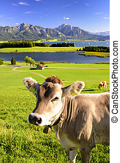 panorama landscape in Bavaria with cow in meadow in front of...