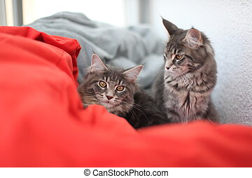 Funny Maine coon blue cats sitting on a red sofa - Funny...