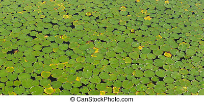 waterlilies green surface of a lake