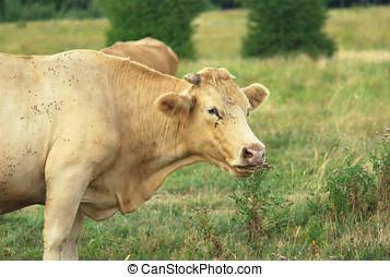 blonde cow ruminating in a field - cow portrait in a field,...