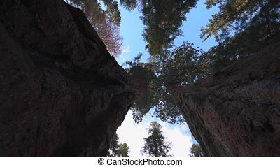Giant Sequoia Trees Camera Tracking between - Giant Forest...