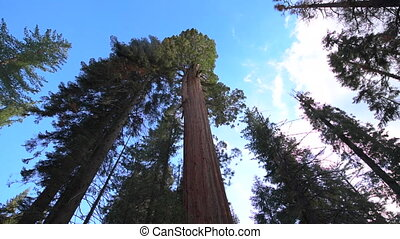 Giant Sequoia Trees slow dolly from ground up - Giant Forest...