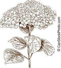 illustration of hydrangea - Vector antique engraving...