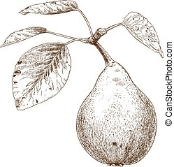 engraving illustration of pear