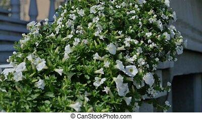 White petunia flower bush near house.