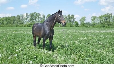 Black horse eating grass slow mition