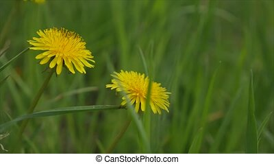 Yellow dandelions taraxacum officinale in green grass. Close up