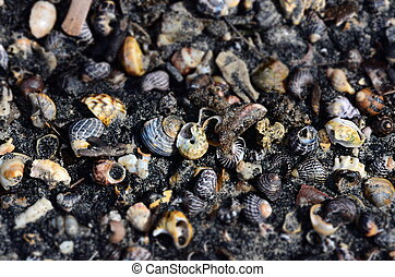 Shells and snails in the black sand (Batemans Bay, NSW,...