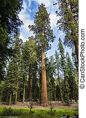 big sequoias in beautiful sequoia national park - tall and...