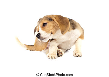 beagle puppy scratching - picture of a small beagle puppy...