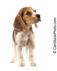 sad little beagle