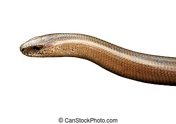 Isolated Head of Slow Worm (Anguis fragilis) Lizard on White