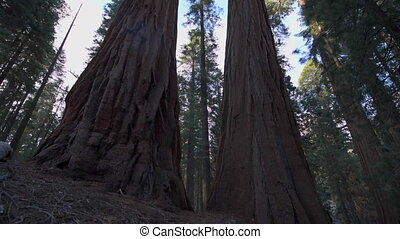 Hiker, admiring Giant Sequoia trees - Sequoia National Park,...