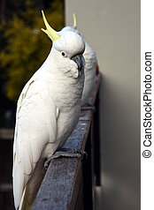 Portrait of Yellow-crested Cockatoo