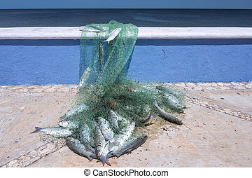 Fresh catch of mullet - Fisherman's net full of fresh caught...