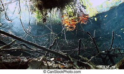 Turtle in grass and roots in Mexico cenote. - Turtle in the...
